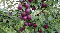 Саженцы яблони Спартан , фото 1