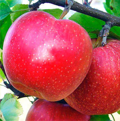 Саженцы яблони Гала Муст