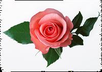 Воск Розы  100 гр / 1 кг