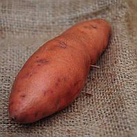 Матковий бульби Батату Ковінгтон компактний високоврожайний солодкий лежкий сорт, фото 1