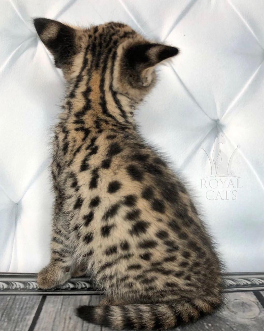 Мальчик 05.09.18. Котёнок Саванна Ф1 (Ашера) питомник Royal Cats