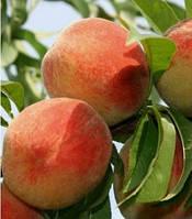 Саженцы персика Киевский , фото 1