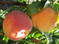 Саженцы персика Редхейвен , фото 1