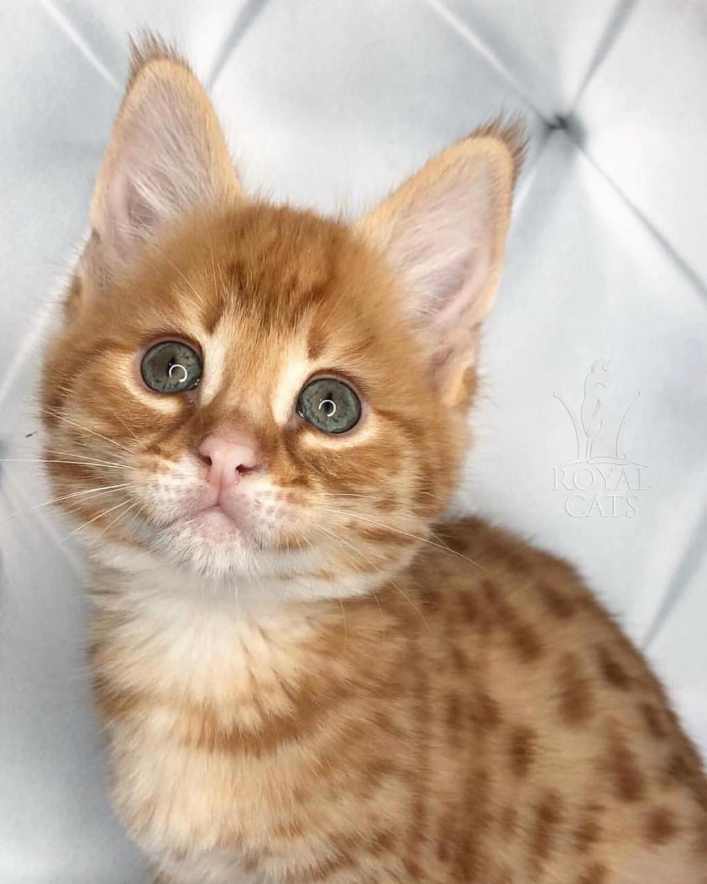 Мальчик 03.08.18. Котёнок Саванна Ф1 (Ашера) питомник Royal Cats