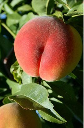 Саженцы персика Кондор