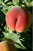 Саженцы персика Кондор, фото 1