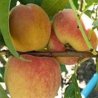 Саженцы персика Эрли Ред Хевен, фото 1