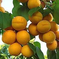 Саженцы абрикоса Олимп