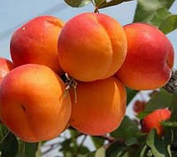 Саженцы абрикоса Оранж Ред , фото 1