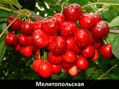 Саженцы черешни Мелитопольская