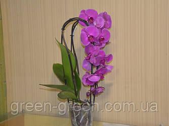 Орхидея Фаленопсис Каскад (Cascade)