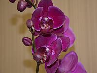 Орхидея Фаленопсис темно сиреневая, фото 1