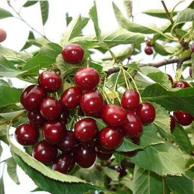 Саженцы вишни Шалунья