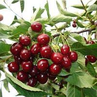Саженцы вишни Шалунья , фото 1