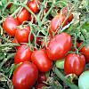 Семена томата Таша F1 1000 семян Hazera