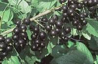 Саженцы черной смородины Юбилейная Копаня , фото 1