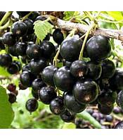 Саженцы черной смородины Черный бумер , фото 1