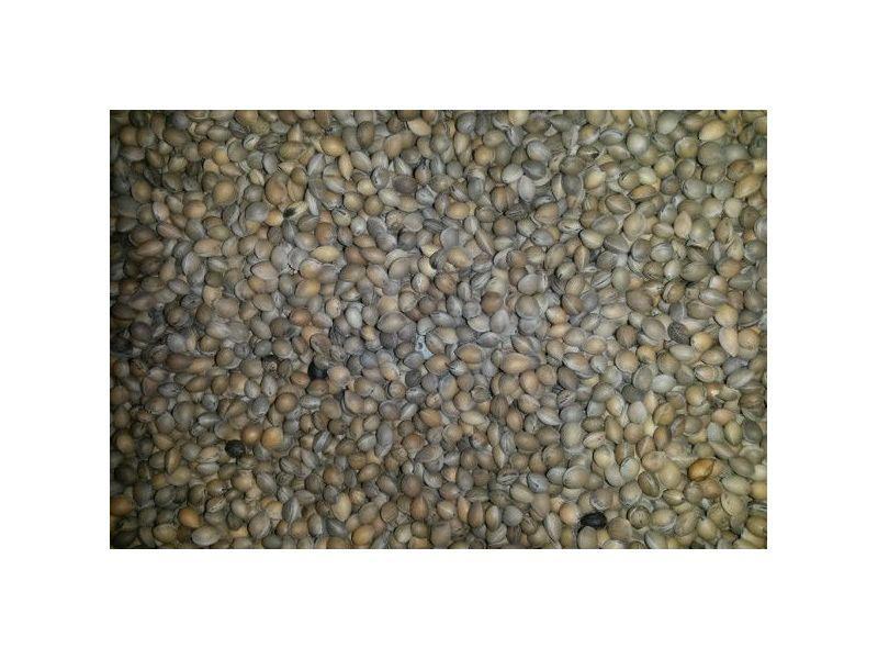 Семена Антипки (Насіння)