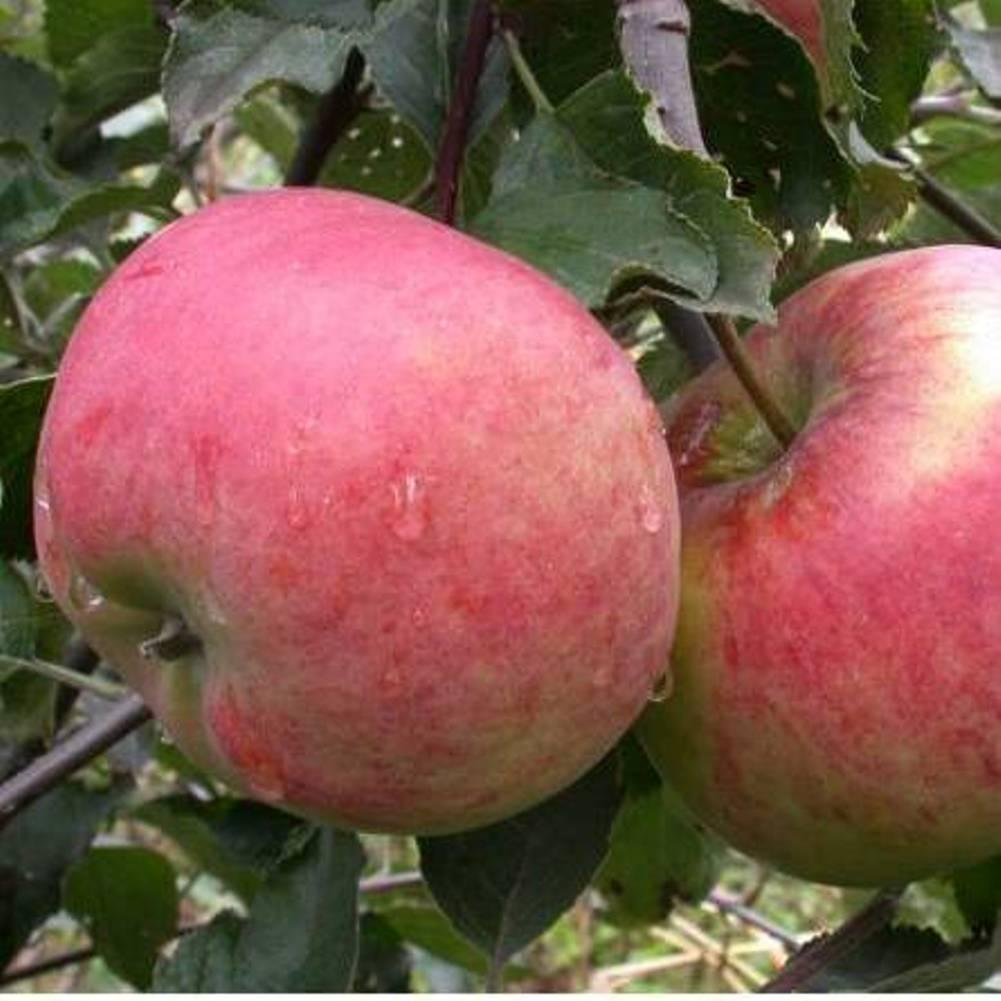 Саженцы яблони Аскольда