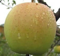 Саженцы яблони Голдан Рейнджерс , фото 1