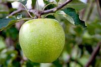 Саженцы яблони Гренни Смит , фото 1