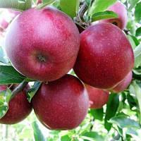 Саженцы яблони Джона Ред Принц , фото 1
