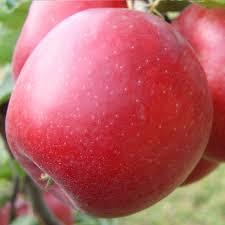 Саженцы яблони Эвелина