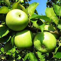 Саженцы яблони Симиренко