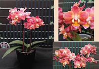 Подростки орхидеи. Сорт Phal. Twinkle размер 1.7