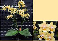 Подростки орхидеи. Сорт Phal. Donna, мультифлора, размер 1.7