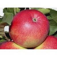 Саженцы яблони Пинова , фото 1