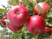 Саженцы яблони Энтерпрайз , фото 1