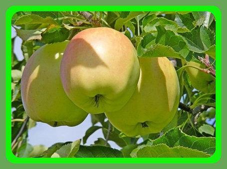 Саженцы яблони Грин Стар