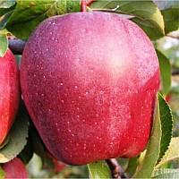 Саженцы яблони Глостер, фото 1