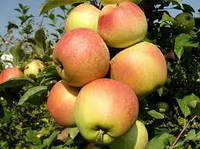 Саженцы яблони Катерина, фото 1