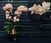 Подростки орхидеи. Сорт Phal. FU yang yellow, мультифлора, размер 1.7
