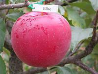 Саженцы яблони Элиза, фото 1