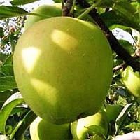 Саженцы яблони Гибсон