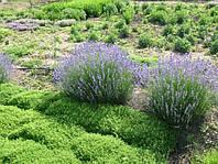 """Лаванда """"Lavendula angustifolia"""""""
