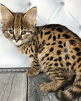 Кошечка Саванна Ф1 из украинского питомника Royal Cats (Девочка, 24/08/18), фото 1