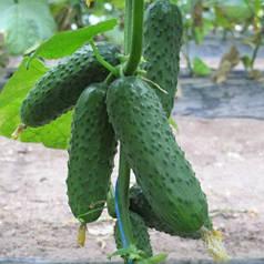 Семена огурцов (професиональная упаковка)