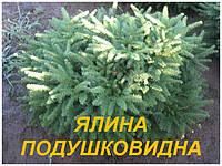 Саженцы Ели Подушковидной  (ЗКС) 3 г.