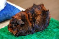 Морская свинка Розетка