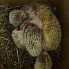 Aфриканский карликовый ежик