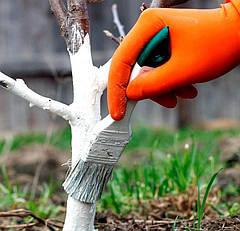 Побелка деревьев: белить или не белить?