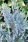 Можжевельник скальный Вичита Блю (3х л), фото 4