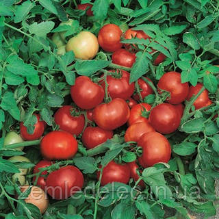 Семена томата Джокер F1 1000 семян Vilmorin
