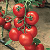 Семена томата Джадело F1 500 семян Vilmorin