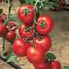 Семена томата Джадело F1 1000 семян Vilmorin