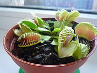 Цветок Мухоед Венерина мухоловка насекомоядное растение дионея мухоловная, фото 1